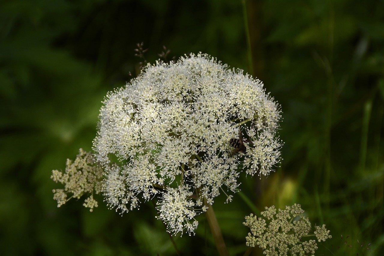 angélica flor