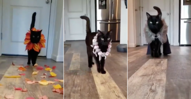 gato-desfile-moda