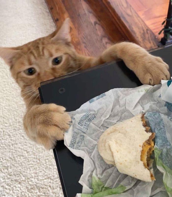 gato robando comida