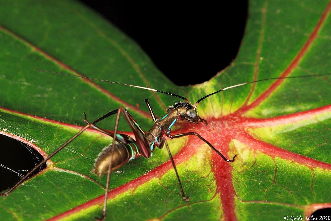 mimetismo de hormiga