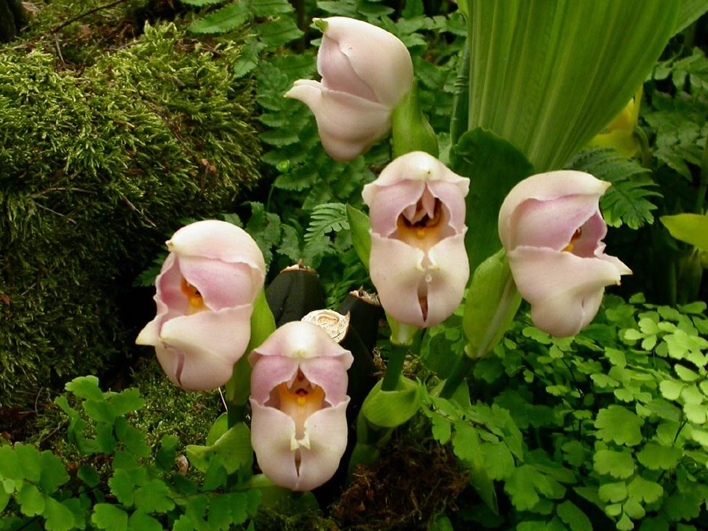 orquídea de bebé
