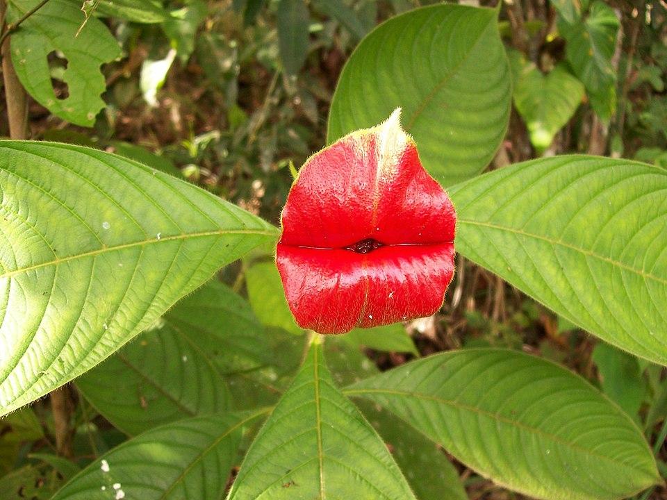 flores más raras hooker lips