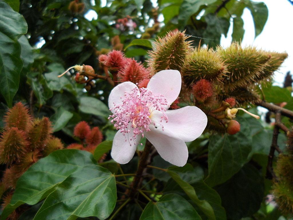 flor-achiote
