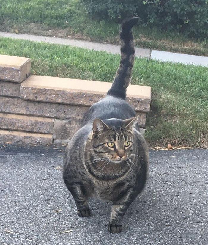 gato-musculos
