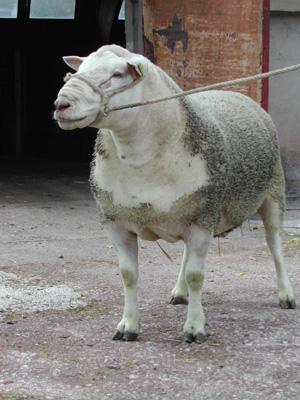 oveja-musculosa
