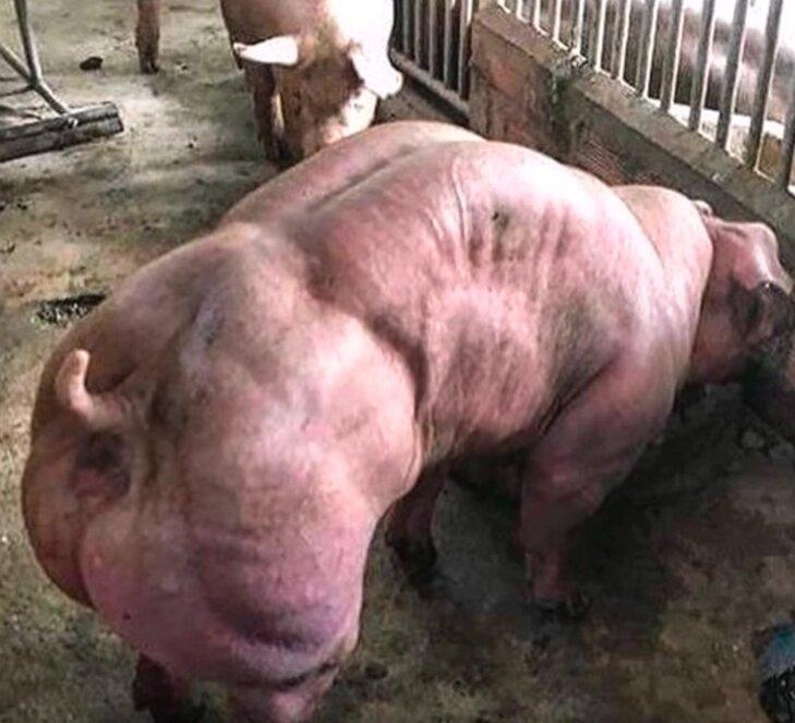 cerdo-musculoso
