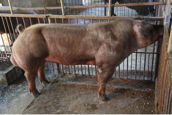 cerdos-musculosos
