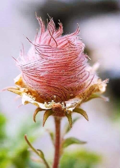 flor de la pradera