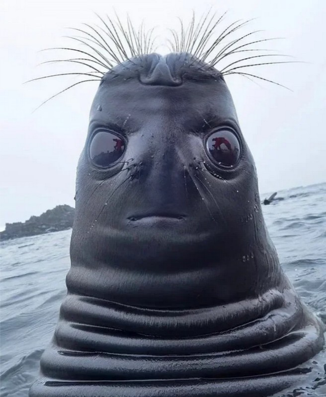seal foca