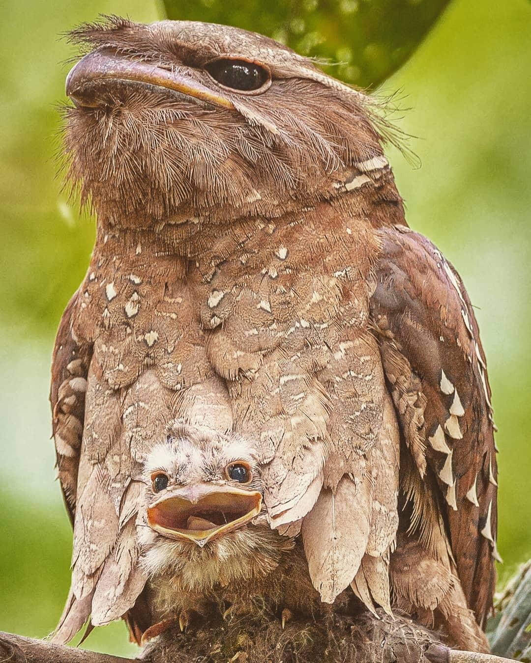 ave con cría rapaz podargo