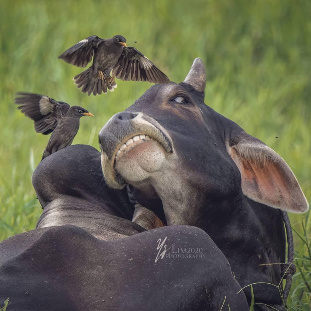 pajaros toro carnero