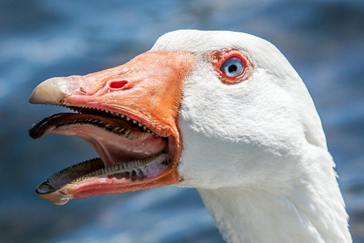 bocas de animales ganso