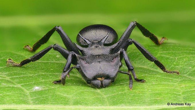 hormiga tortuga gigante