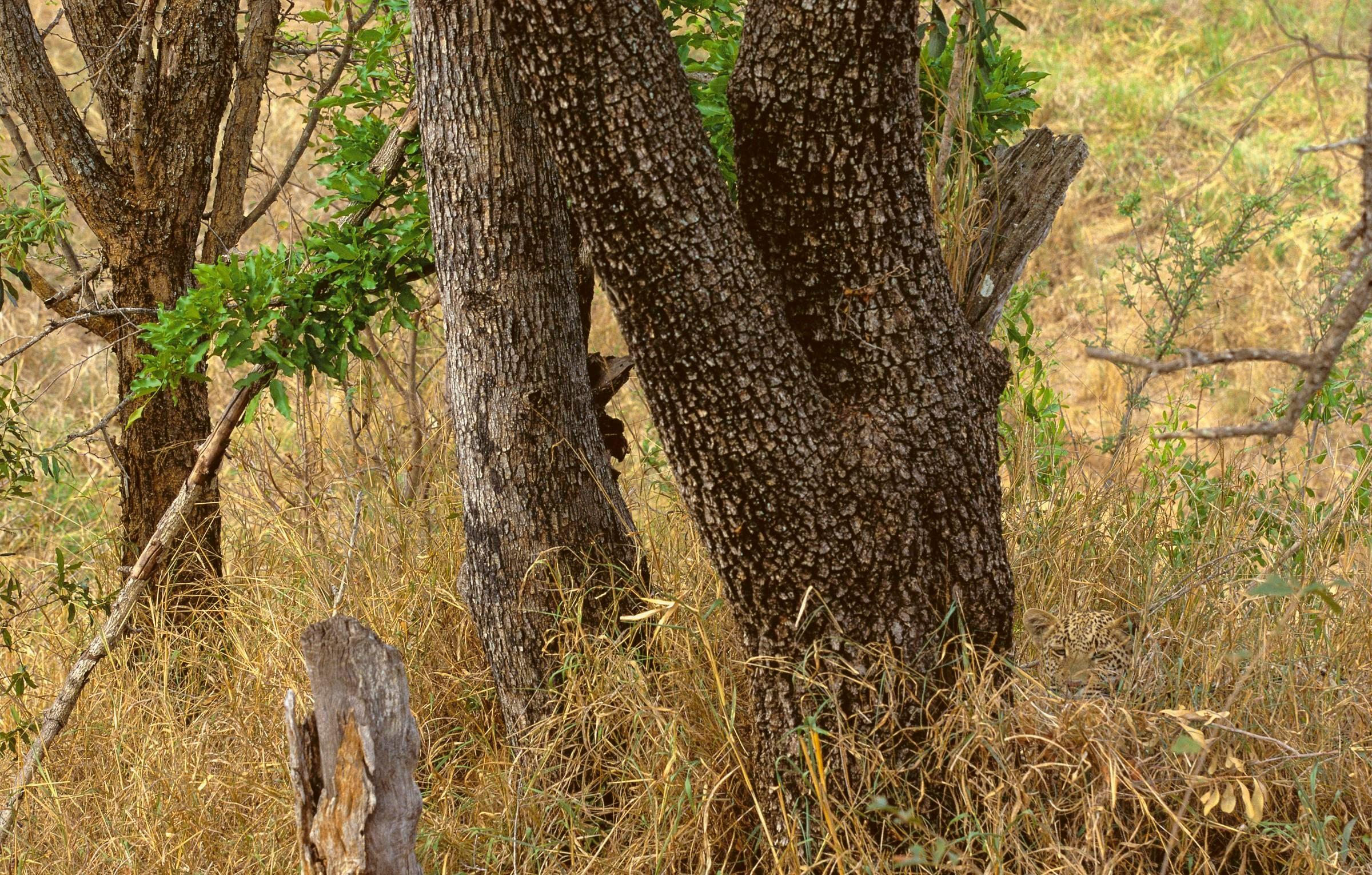 leopardo sabana africana