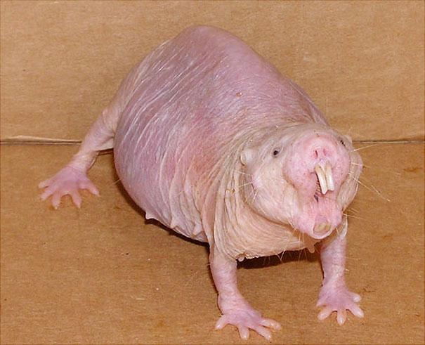 bocas de animales rata topo desnuda