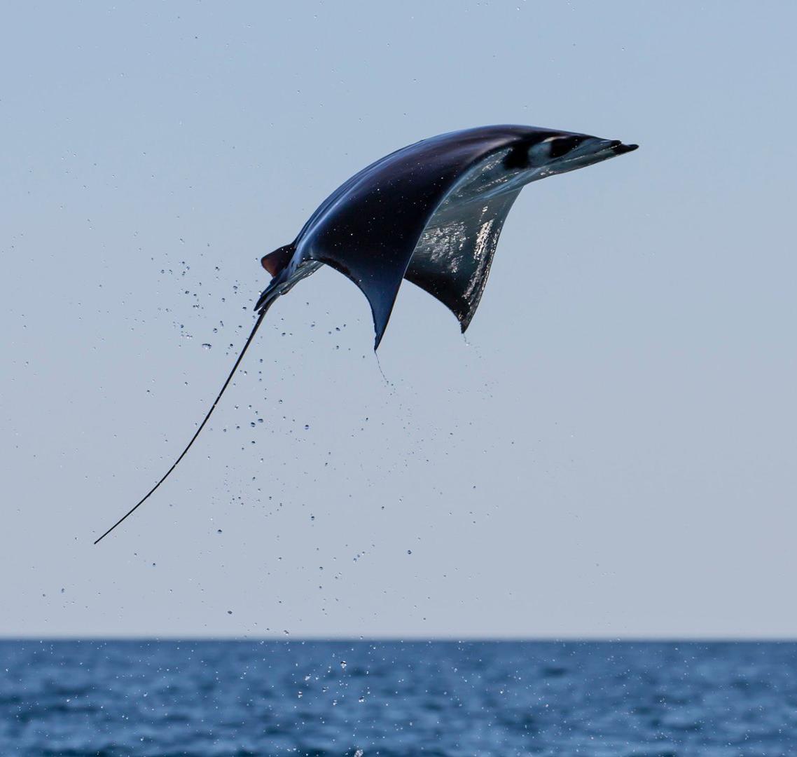 animales voladores mantarraya