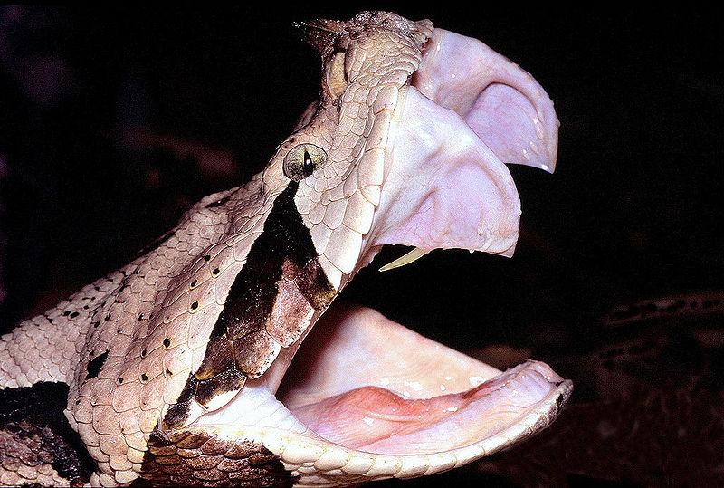 bocas de animales víbora del gabón