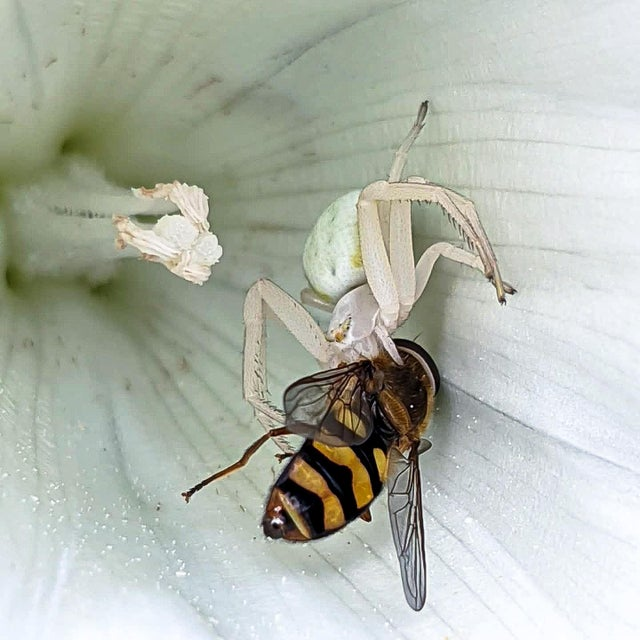 araña comiendo mosca