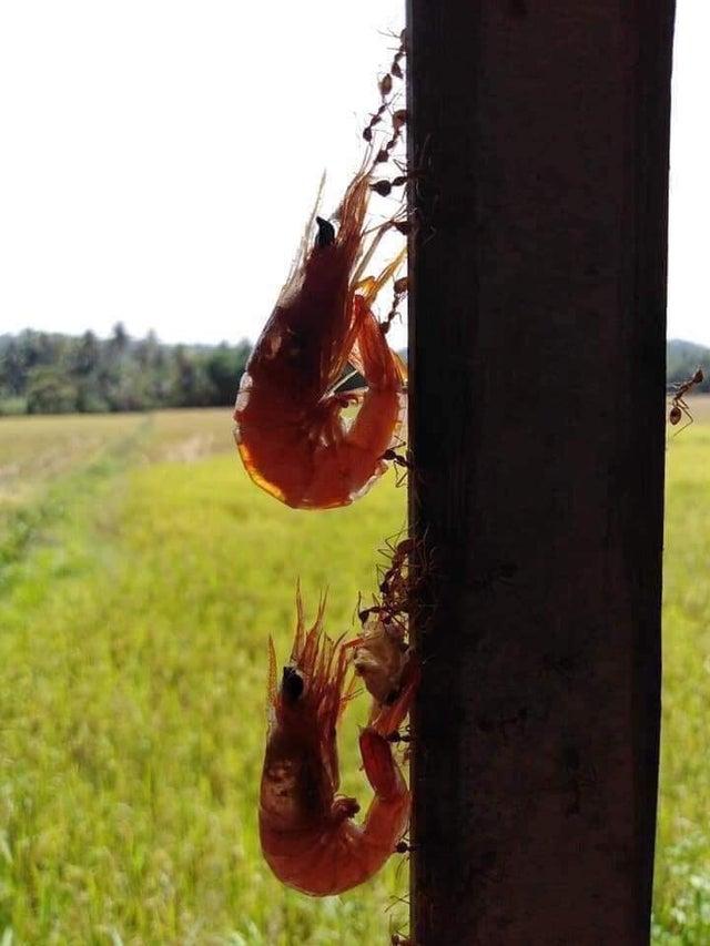 hormigas llevando camarones
