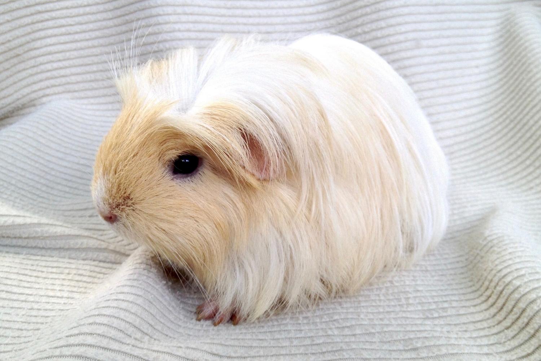 cerdo guinea