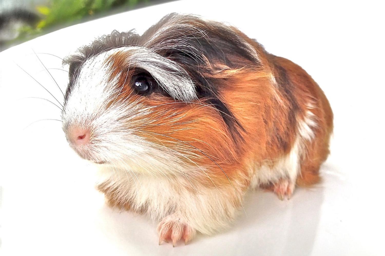 Cerdo de Guinea silkie
