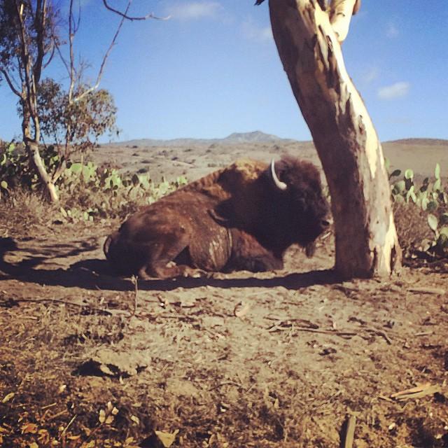 bisonte tumbado