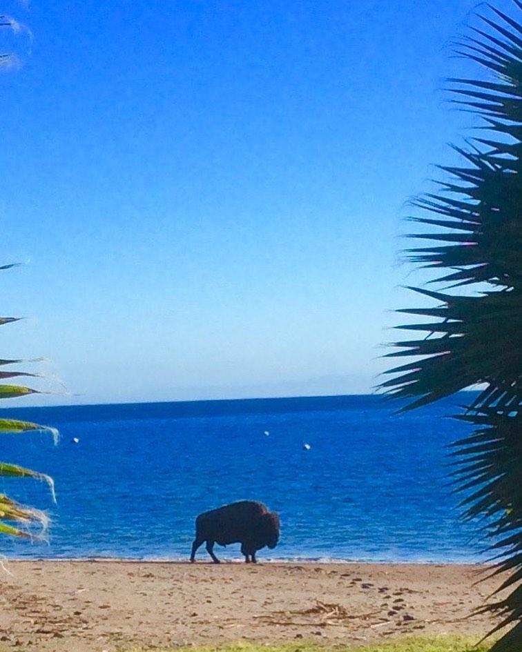 bisonte playa