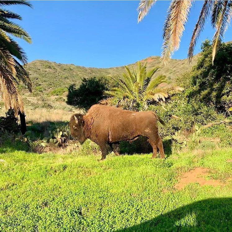 bisonte California