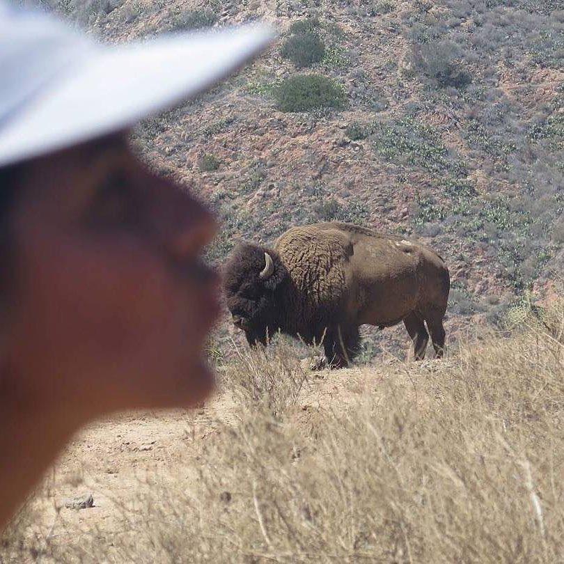 bisonte beso