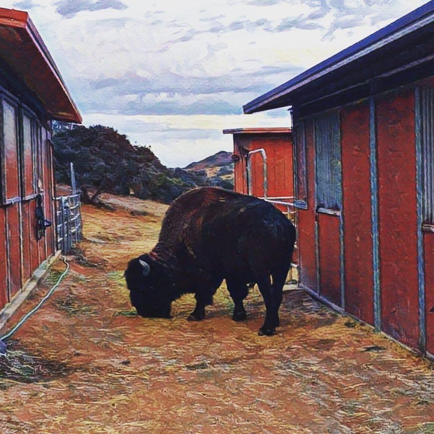 bisonte decorado