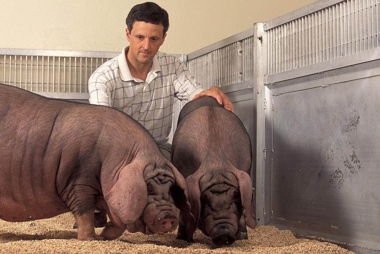 cría cerdos