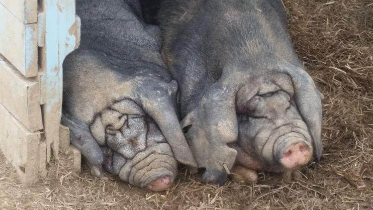 cerdos durmiendo