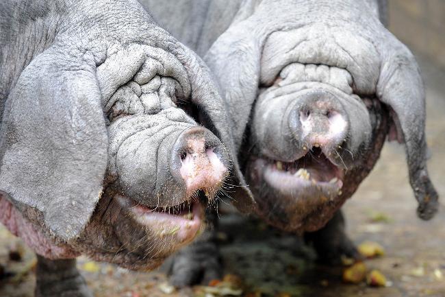 cerdos riendo