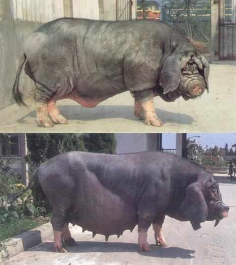 cerdo Taihu