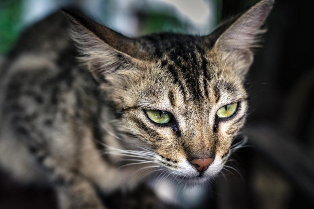 gato dominante personalidades
