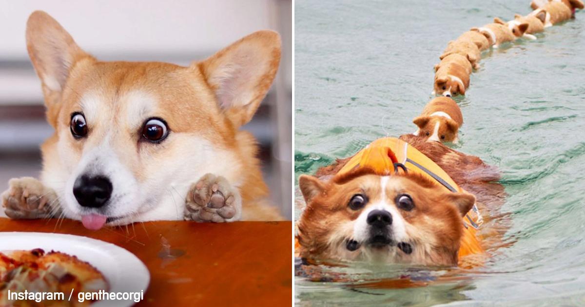 gen-corgi-perro-expresivo