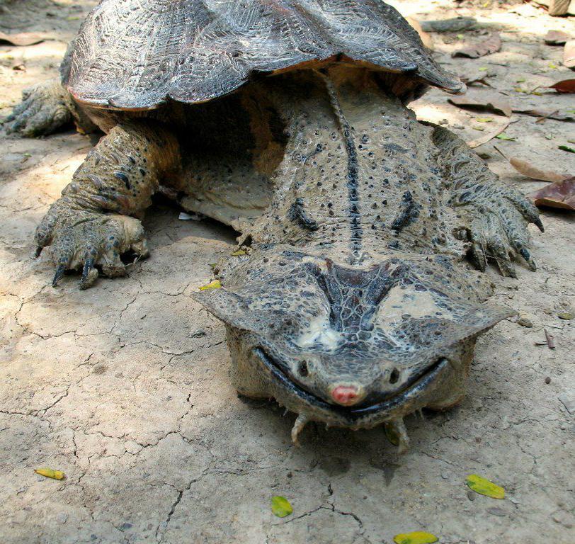 tortuga chelus fimbriata sonrisa