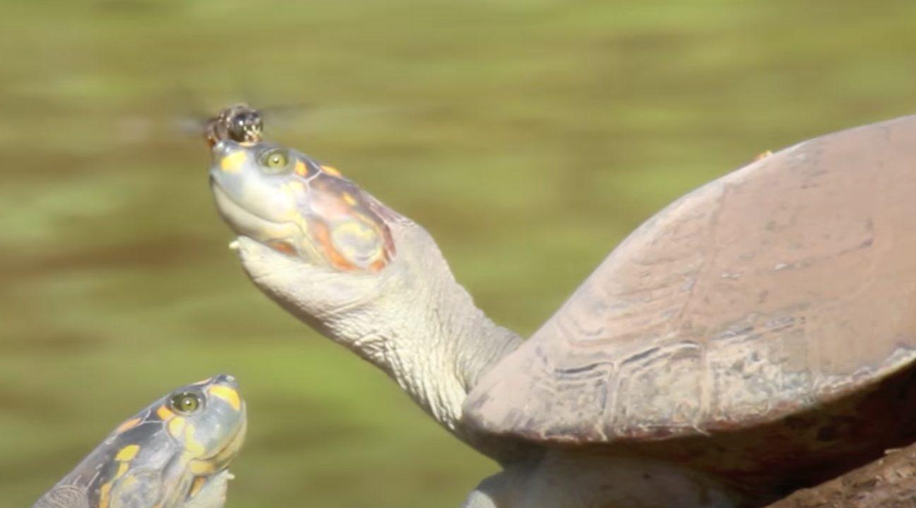 abeja cabeza tortuga