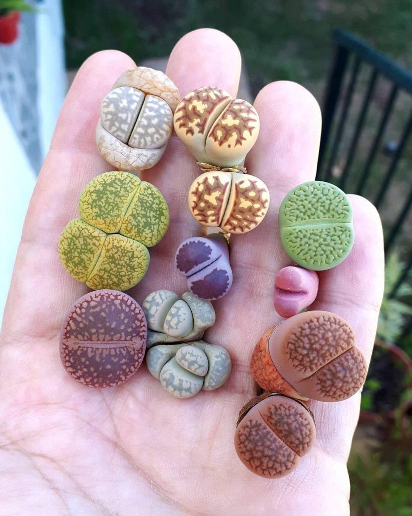 Mini plantas piedra