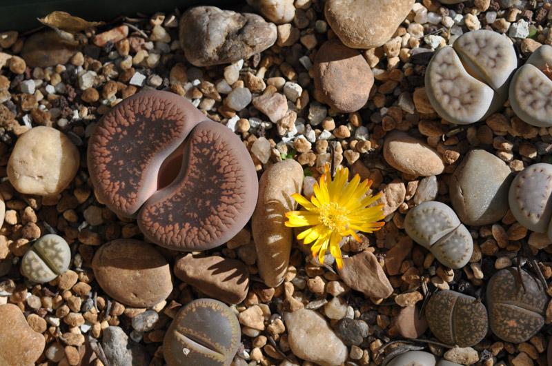 Planta piedra flor amarilla
