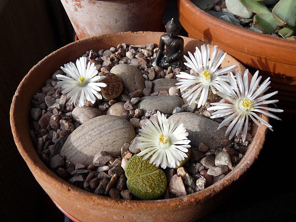 Planta piedra maceta buda