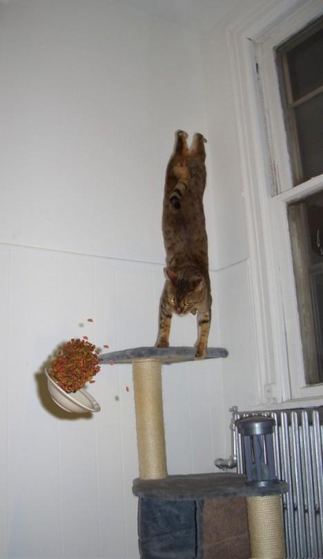 Gato acróbata comida fotografías mejor momento
