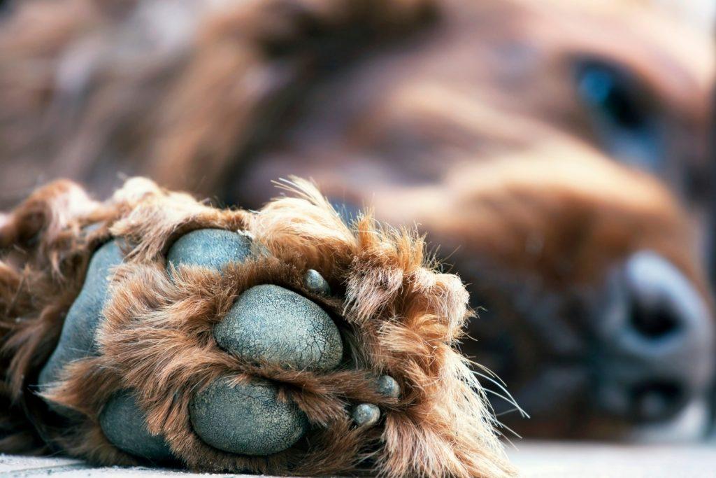 Pata almohadilla perro