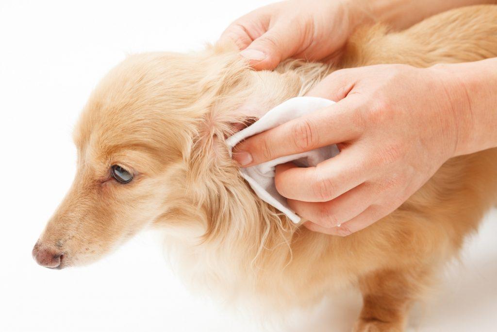 Perro oreja toallita sitios inesperados mascotas