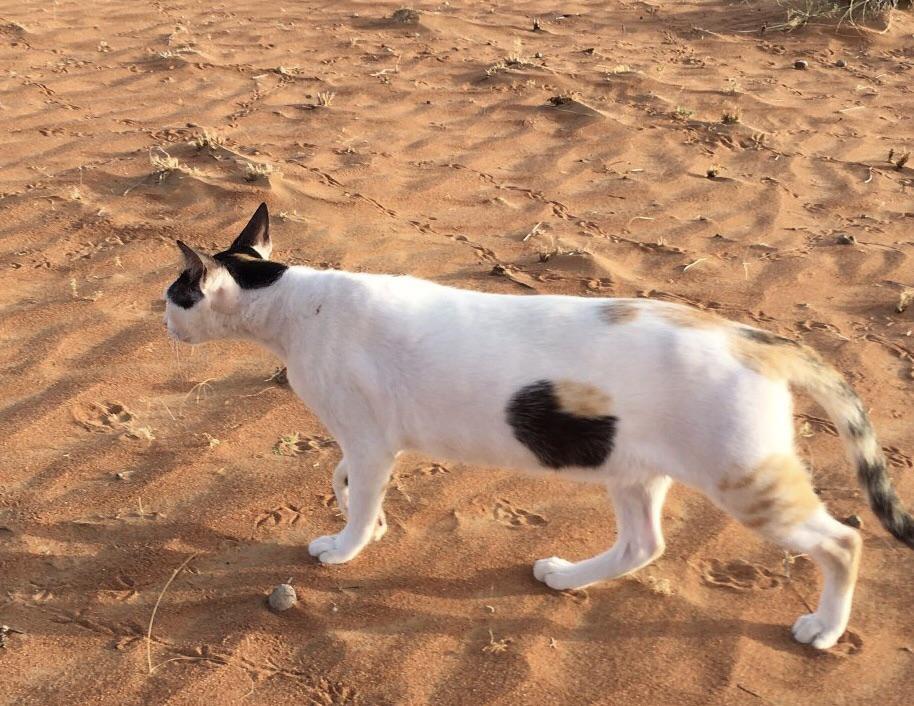 gato en el desierto