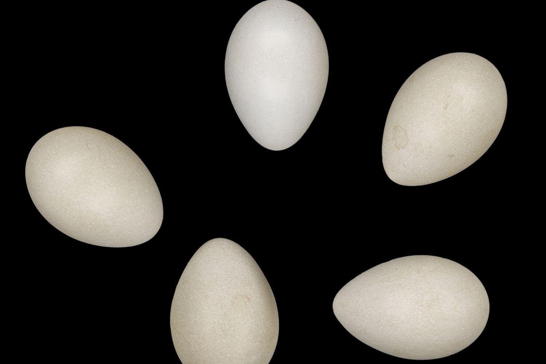 huevos abubilla