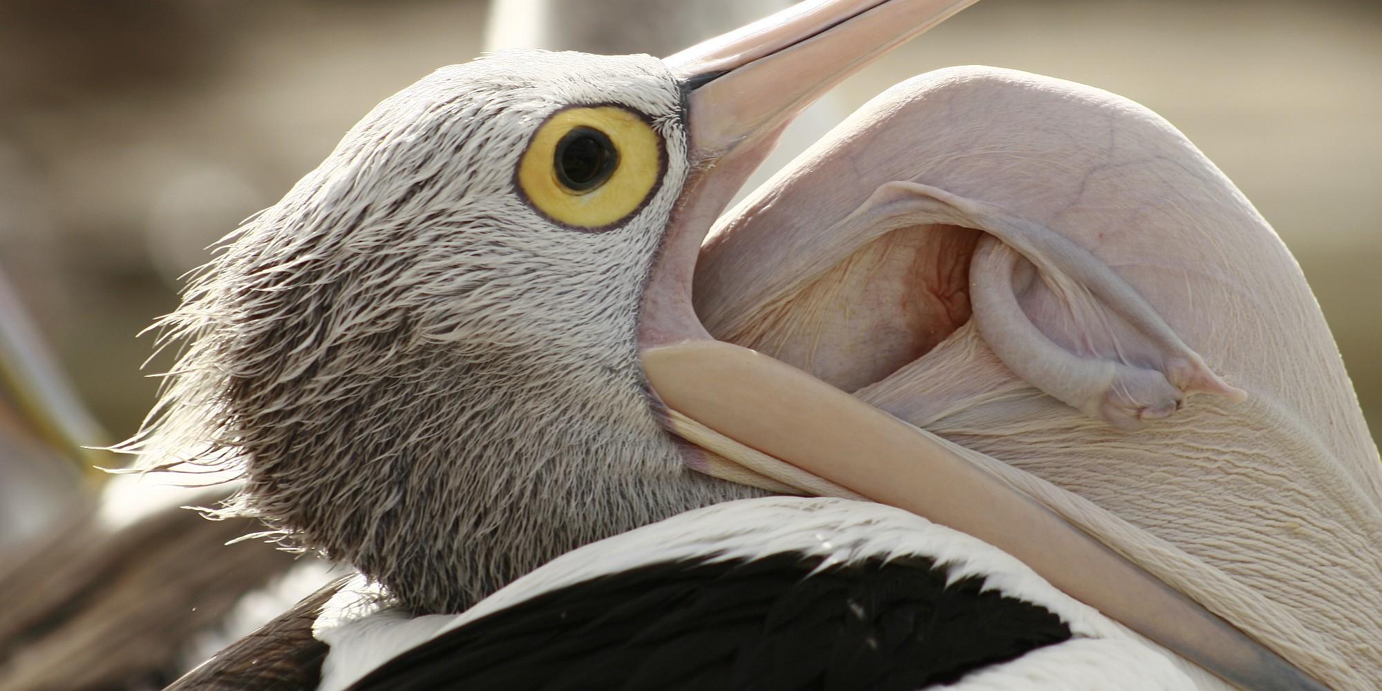 Lengua pelicano gigante