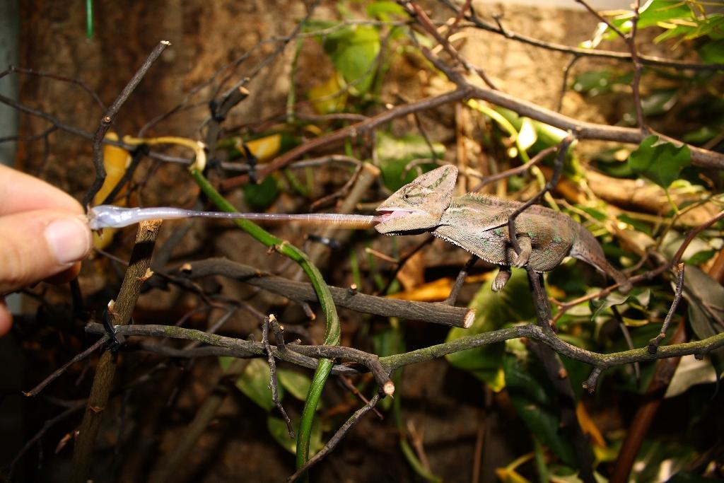 camaleón cazando