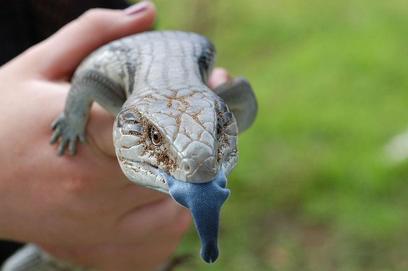 lengua de lagarto
