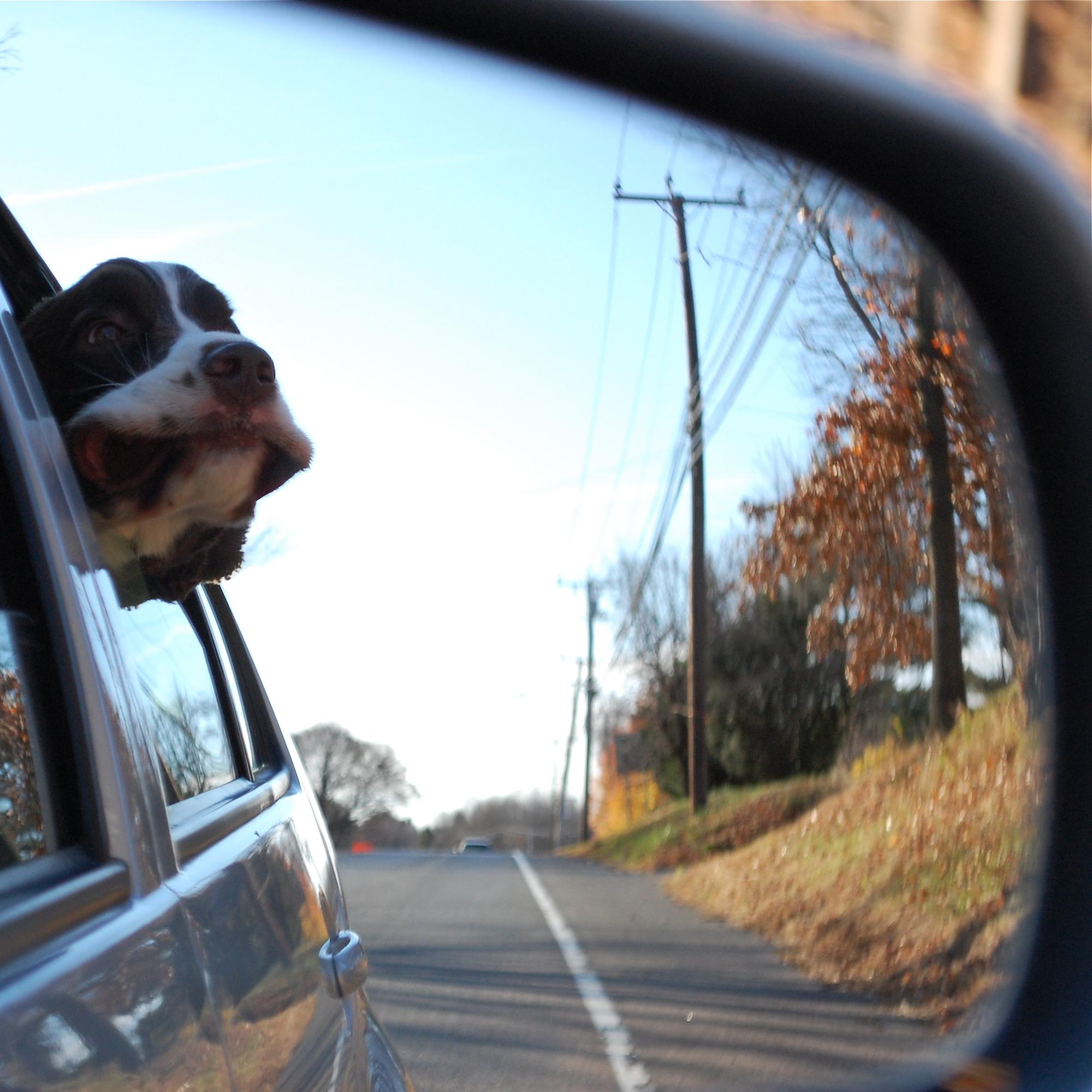 perro asomándose por la ventanilla